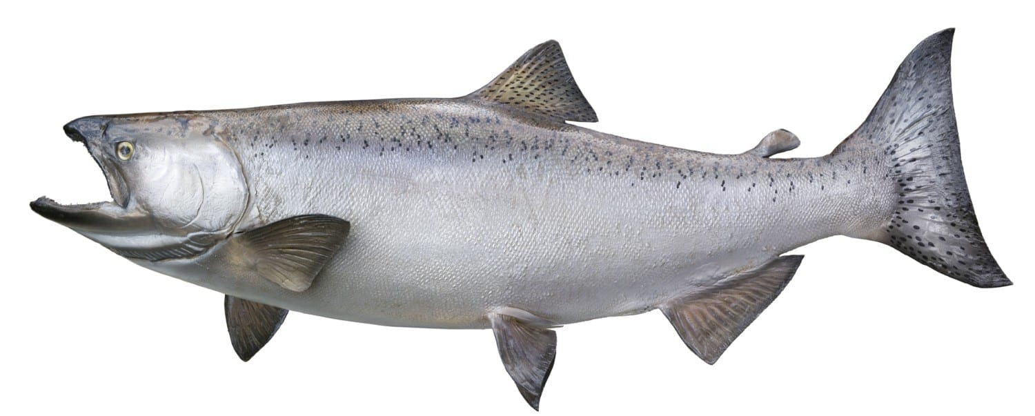 Profile image of King (Chinook) Salmon