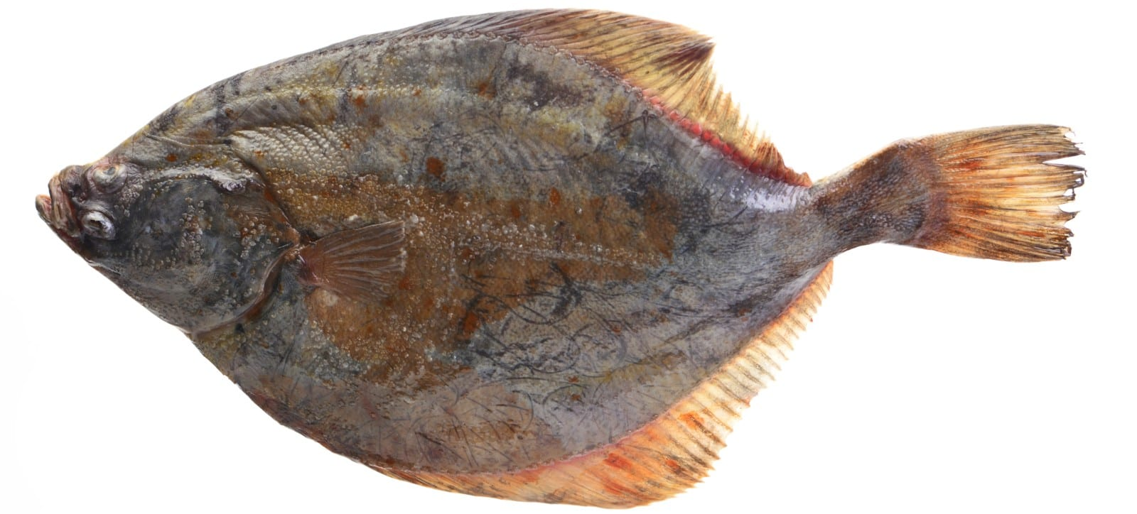 Profile image of a halibut
